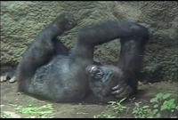ゆかいなどうぶつたち ~ゴリラ・サル・チンパンジー~
